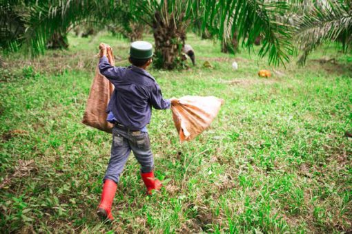 on of left-over fruit from oil palms is carried out by women and children, whose salary is generally lower than that of adult men. Some children go to school but most quit school to work on the plantations.